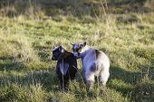 picture of pygmy goat  - Two adorable baby pygmy goats side by side - JPG