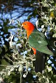 stock photo of king parrot  - A male australian King parrot Alisterus scapularis sitting in an acacia tree - JPG