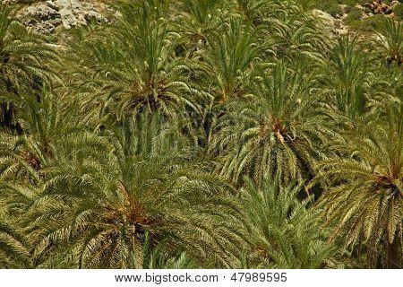 Постер, плакат: Текстура пальмовых деревьев растущих в крупнейший в Европе пальмовый лес Ваи на Крите Греция