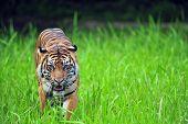 Sumatera Tiger poster