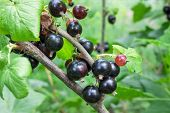 Mature Black Currants Branch
