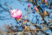 foto of japanese magnolia  - A pink and purple japanese magnolia blossom in the spring against a blue sky - JPG