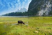 foto of buff  - China Guilin landscape raft and buff on grass - JPG