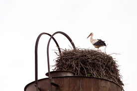 image of shadoof  - Shadoof guards their chicks in the nest - JPG