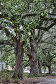 picture of tillandsia  - The famous live Southern Live Oaks covered in Spanish Moss growing in Savannah