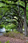 pic of tillandsia  - The famous live Southern Live Oaks covered in Spanish Moss growing in Savannah - JPG