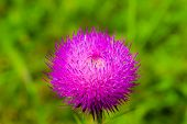 picture of scottish thistle  - macro shot of a vibrant magenta thistle flower - JPG