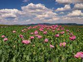 image of opium  - Opium Poppy field in full bloom Germany - JPG