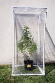 stock photo of gases  - A Genuine Medical Marijuana plant being grown in its own personal green house outside - JPG