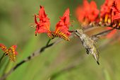 pic of crocosmia  - Annas Hummingbird Feeding on red Crocosmia flowers  - JPG