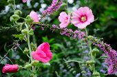 picture of butterfly-bush  - Blooming pink hollyhocks and a purple flowers on a butterfly bush - JPG