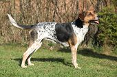 image of spotted dog  - Czech spotted dog standing in the garden in spring - JPG
