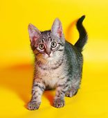 picture of yellow tabby  - Small tabby kitten sneaks up on yellow background - JPG