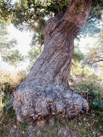 picture of fairy tail  - Mighty trunk of an old cork oak tree fairy tail like Andalusia - JPG