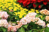 stock photo of hydrangea  - Hydrangea flowers - JPG