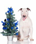 stock photo of christmas puppy  - english bull terrier puppy on white with a christmas tree - JPG