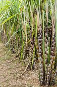 picture of sugar industry  - Close up sugar cane plants nature background - JPG