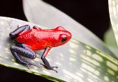 picture of poison arrow frog  - strawberry poison arrow frog - JPG