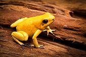 picture of orange poison frog  - poisonous frog - JPG