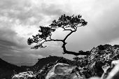 stock photo of pieniny  - pine most famous tree in Pieniny Mountains Poland black and white photo - JPG