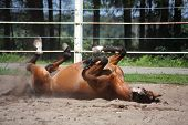 stock photo of bay horse  - Brown horse playfully rolling on the ground - JPG