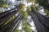 stock photo of sequoia-trees  - Huge trees in Sequoia National Park California USA - JPG