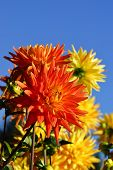 foto of rare flowers  - Beautiful and rare dahlias in a botanical garden - JPG