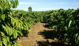 image of coffee coffee plant  - Coffee tree with coffee bean on cafe plantation cafe is main plant at basalt soil like Bao Loc Lam Dong Viet Nam and coffee is Vietnam agriculture product to export - JPG