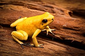 stock photo of poison arrow frog  - poisonous frog - JPG