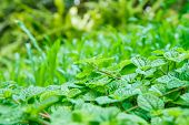 stock photo of peppermint  - Abstract peppermint leaf in Park macro shot - JPG