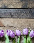 picture of violets  - Beautiful violet Tulips - JPG