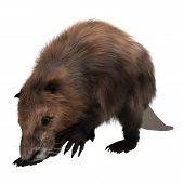 stock photo of beaver  - 3D digital render of a beaver isolated on white background - JPG