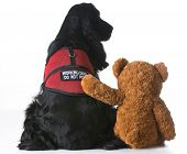 image of teddy  - therapy dog being comforted by a teddy bear on white background - JPG