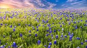 pic of bluebonnets  - Texas pasture filled with bluebonnets at sunset - JPG