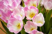 ������, ������: Pink Tulips
