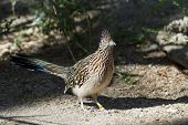 stock photo of greater  - close up of a greater roadrunner in a zoo in California - JPG