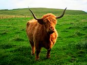 stock photo of husbandry  - Highland cows are a Scottish breed of cattle - JPG