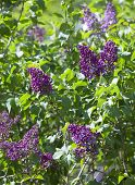 stock photo of lilac bush  - bush of the blossoming lilac focus on the top inflorescences - JPG