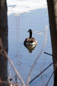 image of canada goose  - Canada Goose swimming away into the ripples of icy blue waters - JPG