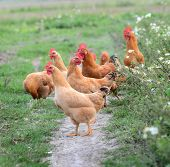image of poultry  - Chickens on traditional free range poultry farm - JPG