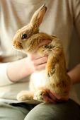 foto of dwarf rabbit  - Woman holding little cute rabbit close up - JPG