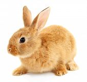 picture of white rabbit  - Cute brown rabbit isolated on white - JPG