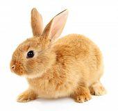 stock photo of wild-rabbit  - Cute brown rabbit isolated on white - JPG