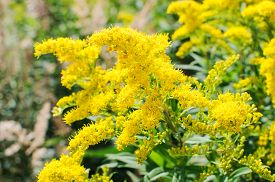stock photo of goldenrod  - Blooming Goldenrod - JPG