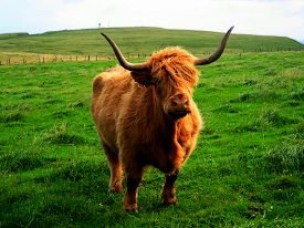 image of cattle breeding  - Highland cows are a Scottish breed of cattle - JPG