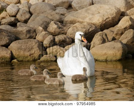 Swan with little baby swans in a lake, Swan with little baby swans in a lake