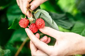picture of gathering  - Raspberry picking - JPG