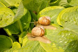 stock photo of garden snail  - Two garden snail on green and yellow hosta leaves - JPG
