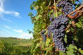 Постер, плакат: Большой красный виноград ждет урожая итальянские виноградники