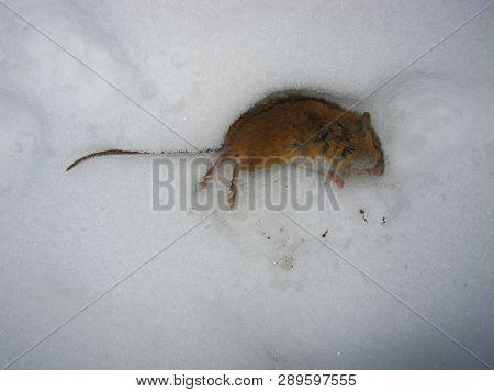 Animal Dead Field Mouse In